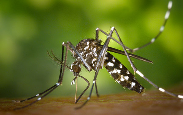 Close up image of a Mosquito for travel vaccines Dublin, Jervis Medical Centre