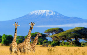Image of 3 giraffes with mount Kilimanjaro in background